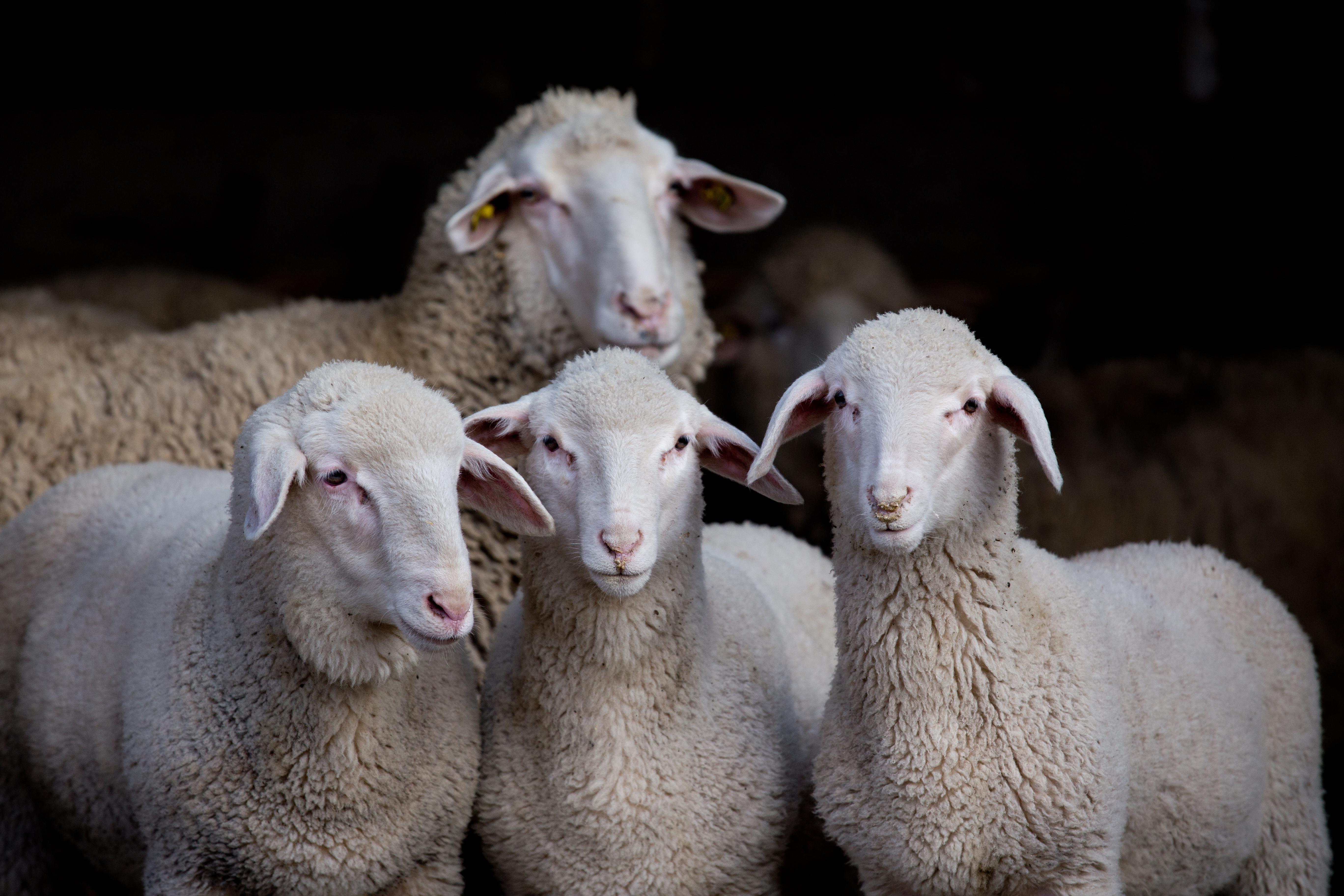 La fattoria e il parco il vecchio castagno - La pagina della colorazione delle pecore smarrite ...
